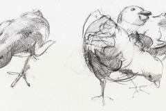 Chicks - 04